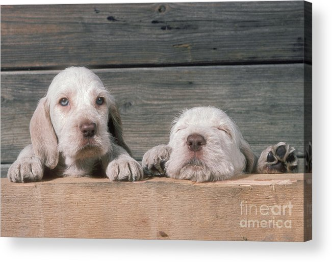 Spinone Acrylic Print featuring the photograph Spinone Puppies by John Daniels