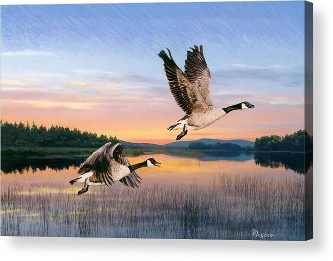 Geese Acrylic Print featuring the drawing Taking Flight by Brent Ander