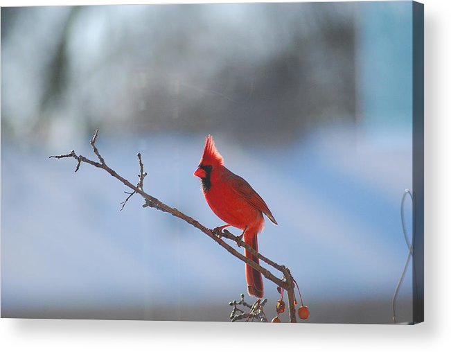 Red Acrylic Print featuring the photograph The Awesome Cardinal by Wanda Jesfield