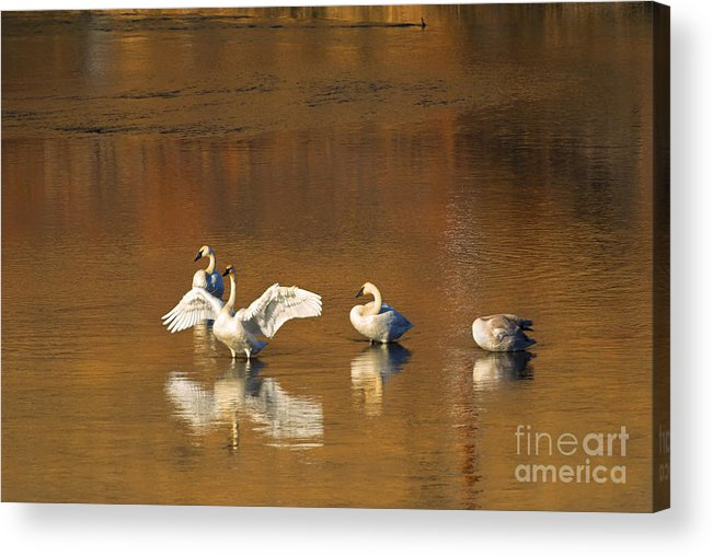 Swan Acrylic Print featuring the photograph Trumpeter Ballet by Mike Dawson