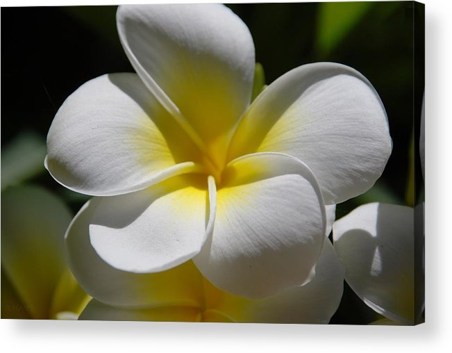 Nature Acrylic Print featuring the photograph White Bloom by Rob Hans