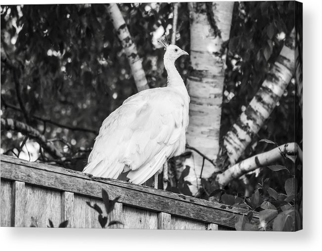 Leucism Acrylic Print featuring the photograph White Peacock by Tracy Winter