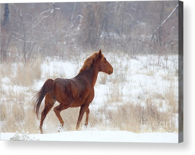 Mustang Acrylic Print featuring the photograph Winter Proud by Mike Dawson