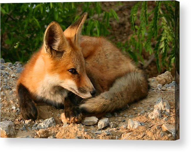 Red Fox Acrylic Print featuring the photograph Worn Out From Chasing Squirrels by Kristin Elmquist