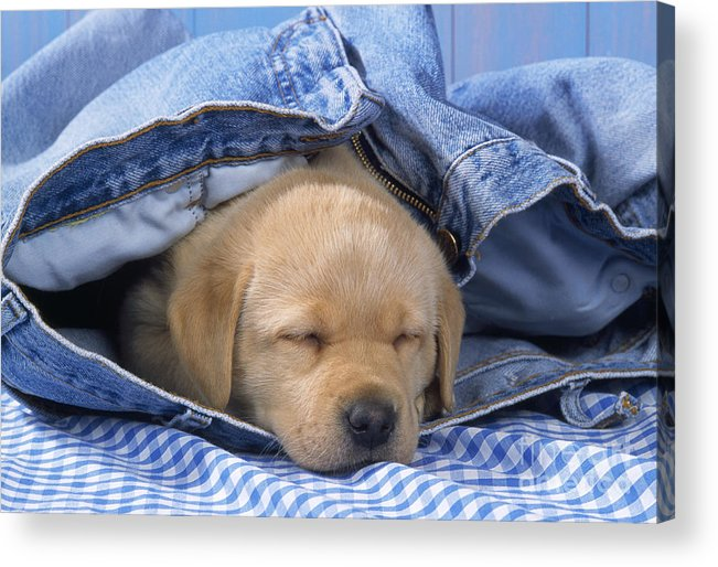 Yellow Labrador Acrylic Print featuring the photograph Yellow Labrador Puppy Asleep In Jeans by John Daniels