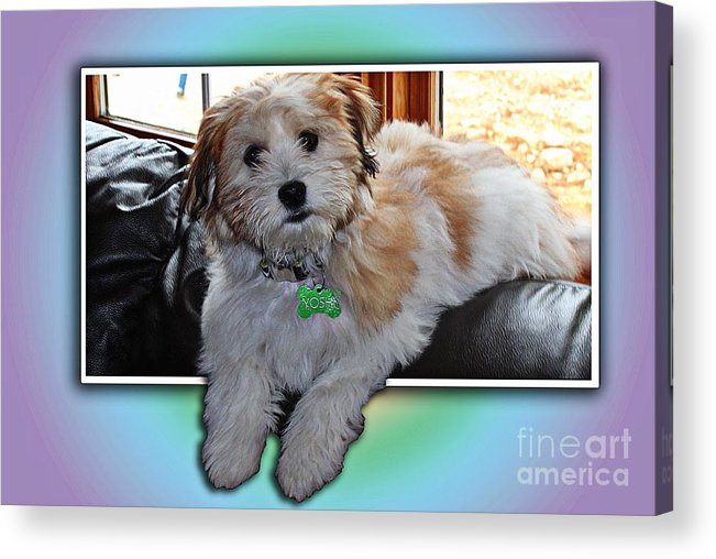 Yoshi Havanese Puppy Acrylic Print featuring the photograph Yoshi Havanese Puppy by Barbara Griffin