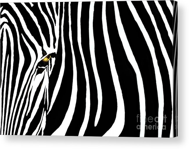 Zebra Acrylic Print featuring the photograph Zebressence by Dan Holm