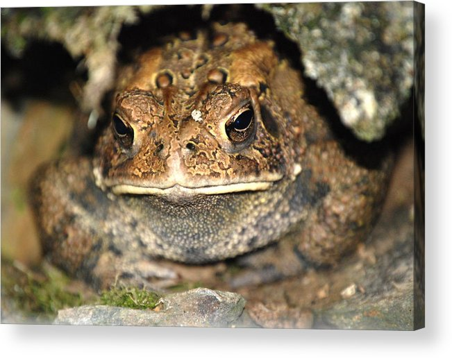 Toad.frogs.nature.cave.home.grounded.grumpy.misserable.lumpy.texture.greeting Card.eyes.rock.hole. Acrylic Print featuring the photograph Grumpy Toad by Kathy Gibbons