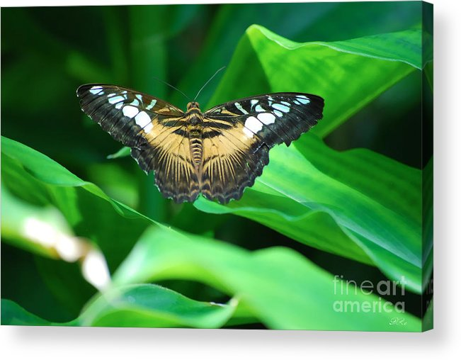 Butterfly Butterflies Acrylic Print featuring the photograph Broken by Diego Re