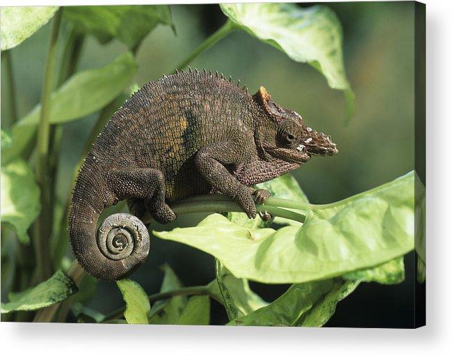 Fischers chameleon acrylic print by david aubrey bradypodion fischeri acrylic print featuring the photograph fischers chameleon by david aubrey thecheapjerseys Choice Image