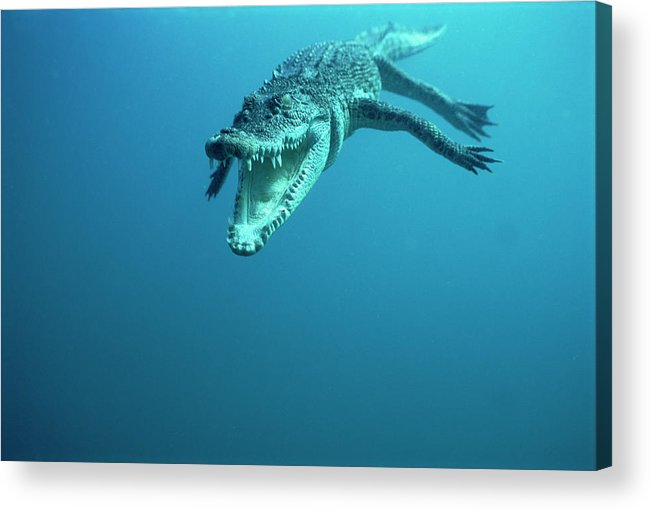 Mp Acrylic Print featuring the photograph Saltwater Crocodile Crocodylus Porosus by Mike Parry
