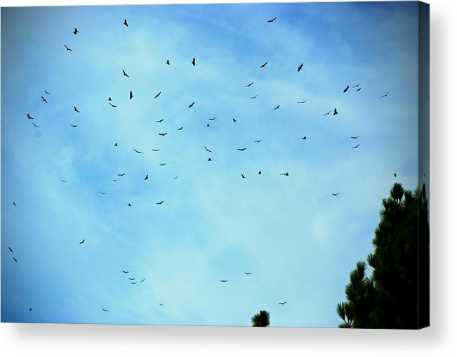 Turkey Vulture Acrylic Print featuring the photograph 74 Turkey Vultures by Eric Tressler