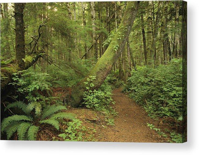 North America Acrylic Print featuring the photograph A Trail Cuts Through Ferns And Shrubs by James A. Sugar