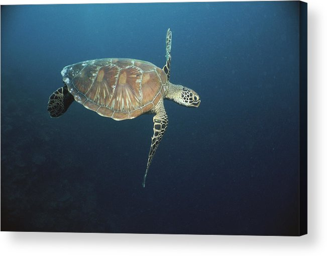 Asia Acrylic Print featuring the photograph An Endangered Green Sea Turtle Swimming by Tim Laman