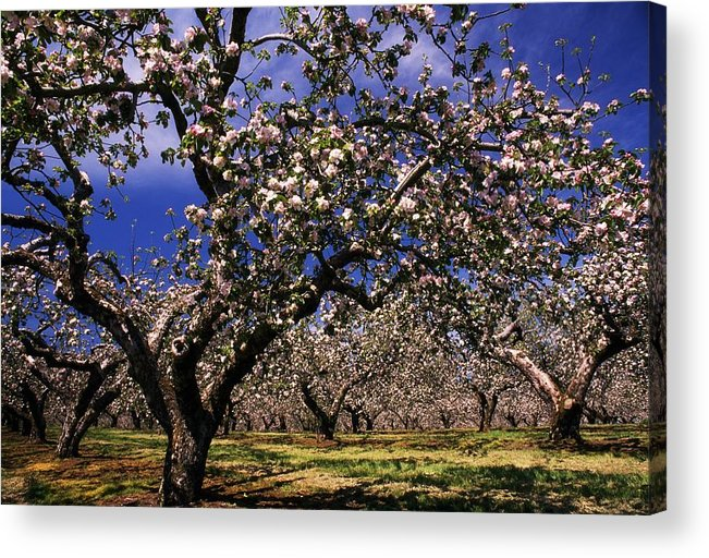 Apple Orchard Acrylic Print featuring the photograph Apple Trees In An Orchard, County by The Irish Image Collection