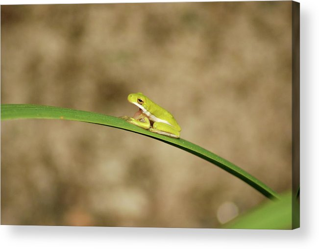 Frog Acrylic Print featuring the photograph Big Mouth by Kathy Gibbons