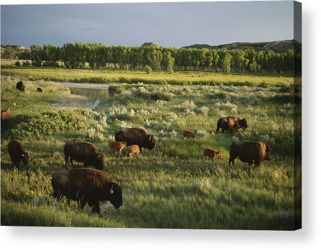 Geography Acrylic Print featuring the photograph Bison Graze On Grasslands In The Park by Michael Melford