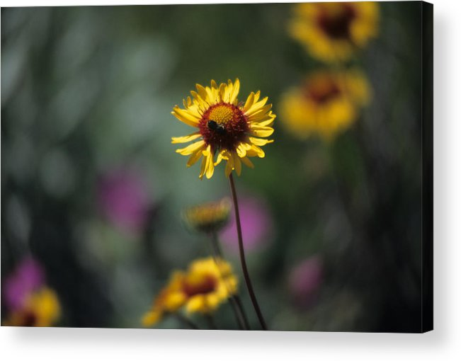 Blanket Flower Acrylic Print featuring the photograph Blanket Flower by One Rude Dawg Orcutt