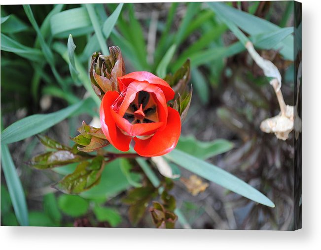Nature Acrylic Print featuring the photograph Blooming Tulip by April Robert