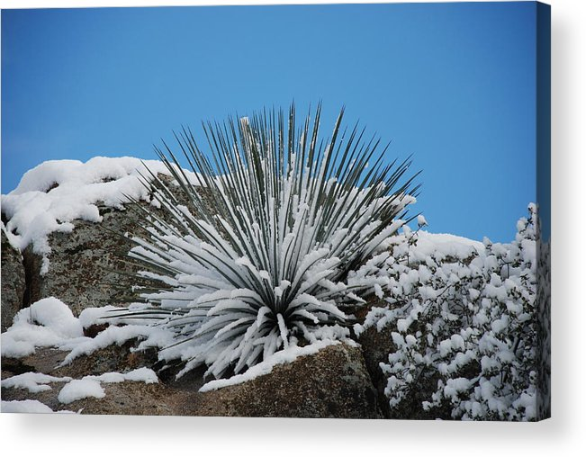 Cactus Acrylic Print featuring the photograph Cool Cacti by Dan Rector