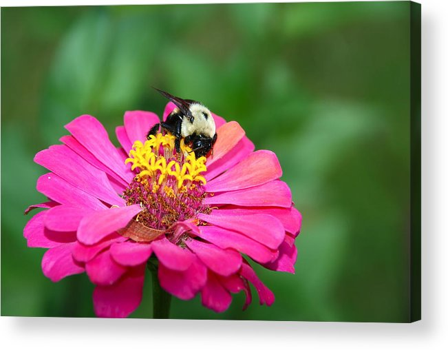 Bumble Bee.bee.hard Worker.dedicated Worker.pollenation.pollen.flower.garden.wings.work.greeting Card.nature.canvas.framed Art.photography.feild Acrylic Print featuring the photograph Dedicated Worker by Kathy Gibbons
