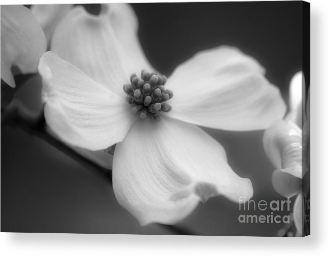 Flower Acrylic Print featuring the photograph Dogwood by Karen Lewis