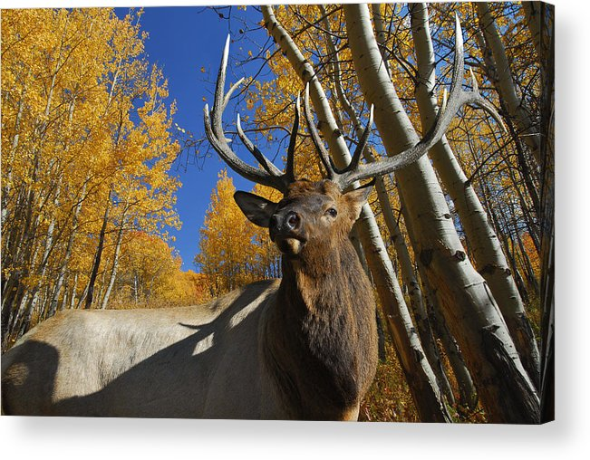 Rocky Mountain Elk Acrylic Print featuring the photograph Dominator by Michael Bartlett