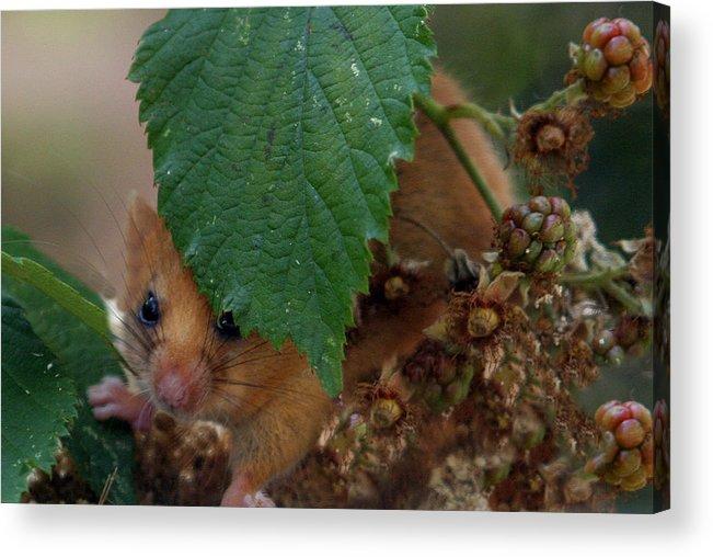 Dormouse: Mammal: Mice: Uk Mammals: Acrylic Print featuring the photograph Dormouse by Vic Sharratt