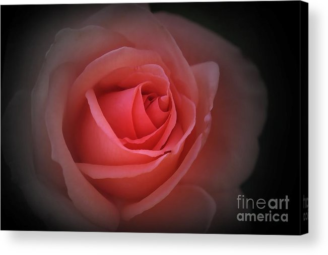 Red Acrylic Print featuring the photograph English Red Rose by Stephen Clarridge