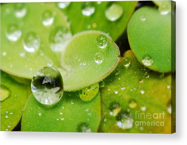 Water Lettus Acrylic Print featuring the photograph Floating by Kendra Longfellow