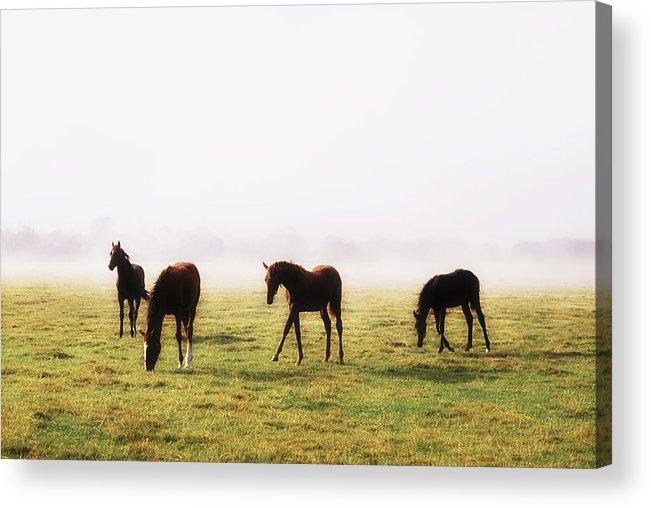 Field Acrylic Print featuring the photograph Foals With A Mist Behind Them by The Irish Image Collection