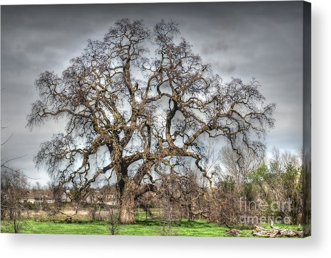Oak Acrylic Print featuring the photograph Folsom Oak Tree by Diego Re