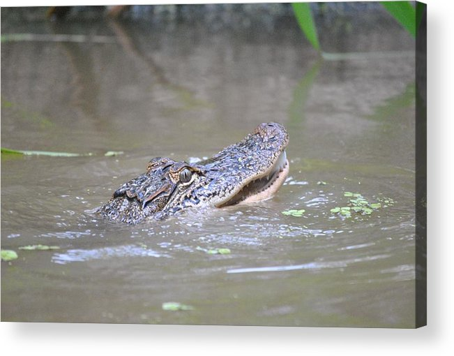 Swamp Acrylic Print featuring the photograph Gator In The Swamp by Nimmi Solomon