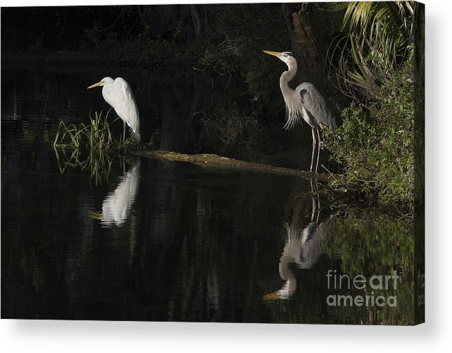 Birds; Ellie Schiller Homosassa Springs Wildlife State Park; Florida; Fresh Water; Great Blue Heron; Ardea Herodia; Heron; Great Egret; Ardea Alba; Egret; Low Light; Other Keywords; Places; Reflection; State Parks; Water; Wading Birds; Big Birds; Wildlife; Nature; Acrylic Print featuring the photograph Great Blue Heron And Great Egret At Day's End by John Arnaldi