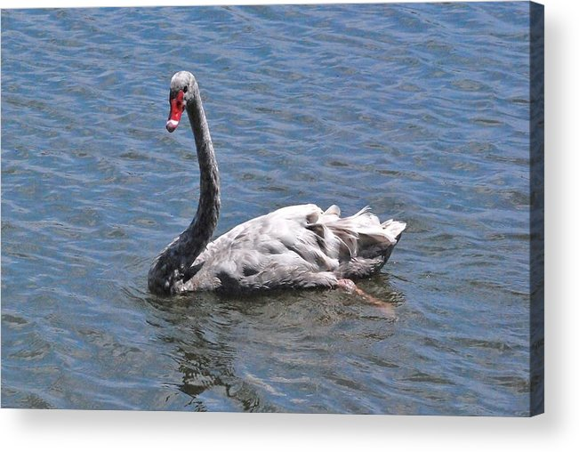 Grey Swan Acrylic Print featuring the photograph Grey Swan by Carrie Munoz