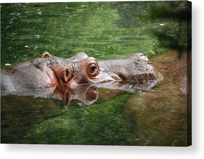 Hippopotamus Acrylic Print featuring the photograph Hungry Hippo by Kathy Gibbons