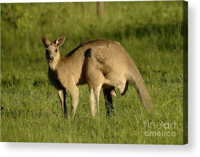 Kangaroo Acrylic Print featuring the photograph Kangaroo Male by Bob Christopher