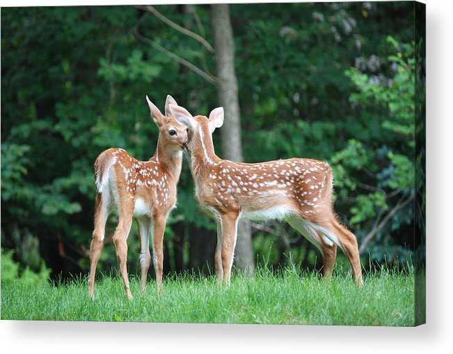 Deer.kiss.fawn.grass.woods.forest.nature.valentine Card.canvas.wrap.two.canvas. Fawns.sweet.love.greeting Card.print.art.photo.photography.nature.trees.woods.forrest.white Tail Deer.print.kiss Me.kiss Me Deer.valentine Acrylic Print featuring the photograph Kiss Me Deer by Kathy Gibbons