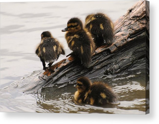 Wildlife Acrylic Print featuring the photograph Little Rascals by John Blanchard