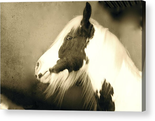 Horses Acrylic Print featuring the photograph Paint Horse by Tess Marie