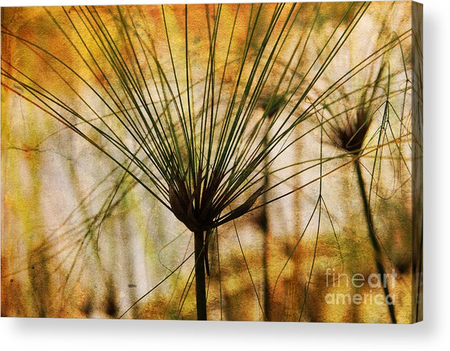 Pampas Acrylic Print featuring the photograph Pampas Grass by Susanne Van Hulst