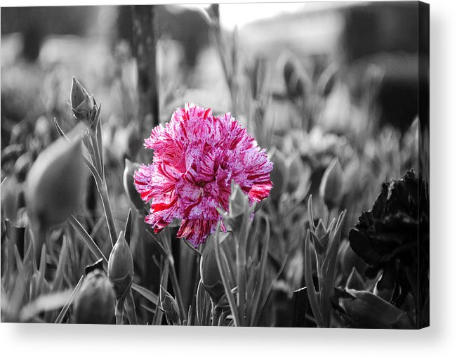 Pink Carnation Acrylic Print featuring the photograph Pink Carnation by Sumit Mehndiratta