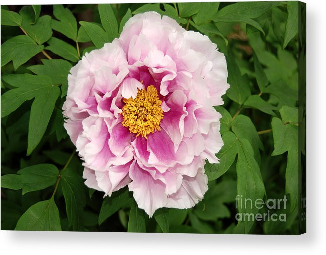 Pink Peony Flower Acrylic Print featuring the digital art Pink Peony Flowers Series 1 by Eva Kaufman