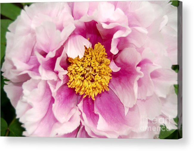 Pink Peony Flower Acrylic Print featuring the digital art Pink Peony Flowers Series 3 by Eva Kaufman