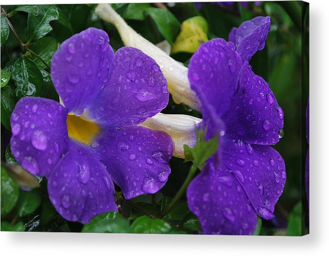 Nature Acrylic Print featuring the photograph Rain On Purple Wonder by Josiah St Jean