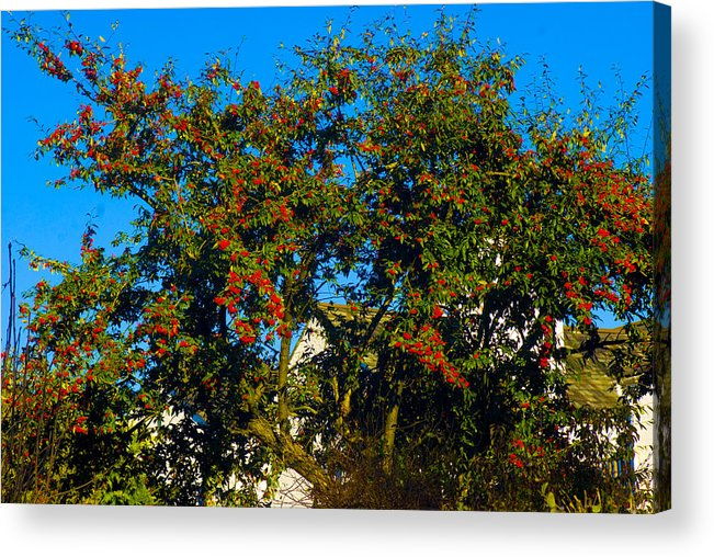 Woodland In Autum Acrylic Print featuring the photograph Red Berries by Peter Jenkins