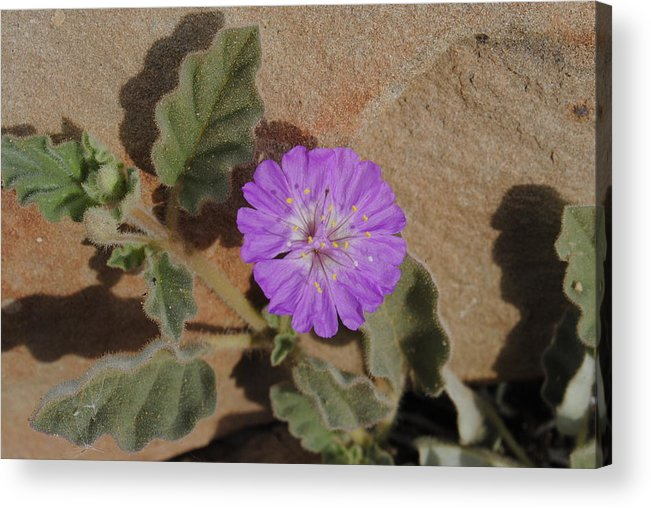 Flower Acrylic Print featuring the photograph Rocky Start by Meagan Suedkamp