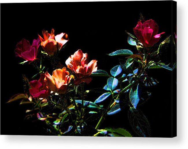 Plant Acrylic Print featuring the photograph Six Roses Of The Night by Linda Phelps