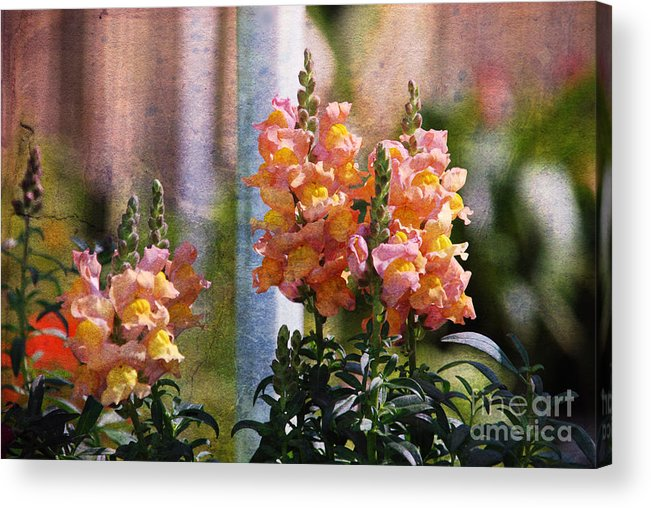 Snapdragons Acrylic Print featuring the photograph Snapdragons by Susanne Van Hulst