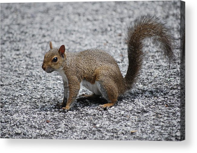 Squirrel Acrylic Print featuring the photograph Squirrel On A Road by Carrie Munoz